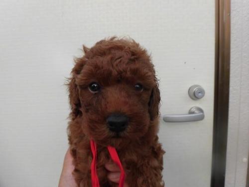 トイプードルの子犬(ID:1273611009)の1枚目の写真/更新日:2018-07-30