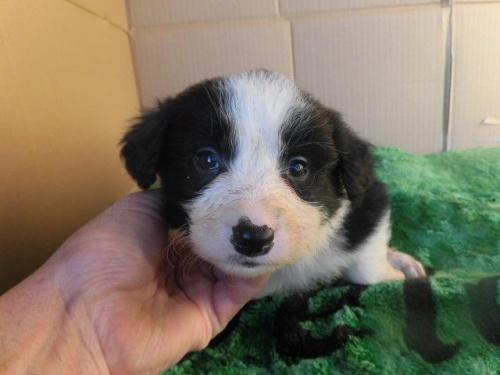 ボーダーコリーの子犬(ID:1273611011)の1枚目の写真/更新日:2018-07-30
