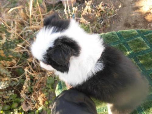 ボーダーコリーの子犬(ID:1273611014)の2枚目の写真/更新日:2018-07-30