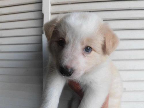 ボーダーコリーの子犬(ID:1273611015)の1枚目の写真/更新日:2018-09-06