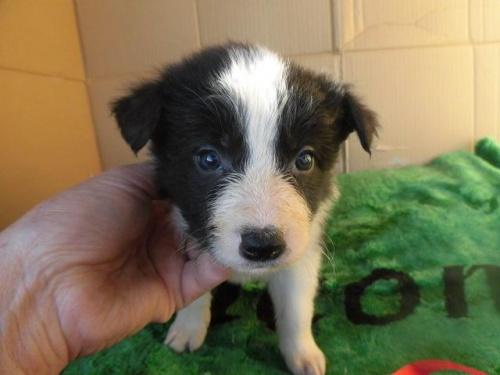 ボーダーコリーの子犬(ID:1273611017)の1枚目の写真/更新日:2018-09-19