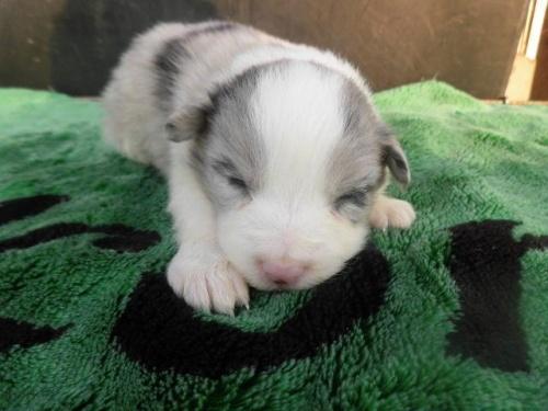 ボーダーコリーの子犬(ID:1273611020)の1枚目の写真/更新日:2018-09-25