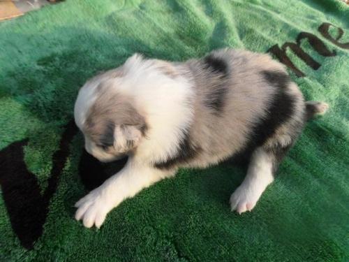 ボーダーコリーの子犬(ID:1273611020)の2枚目の写真/更新日:2018-09-25