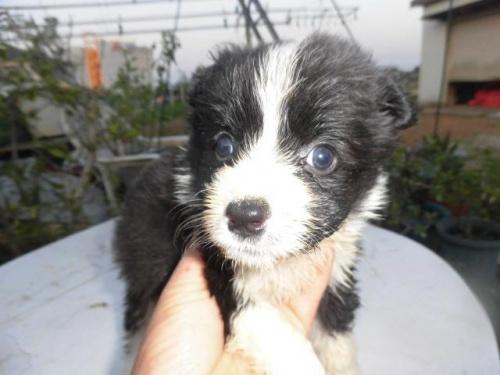 ボーダーコリーの子犬(ID:1273611022)の1枚目の写真/更新日:2019-05-29