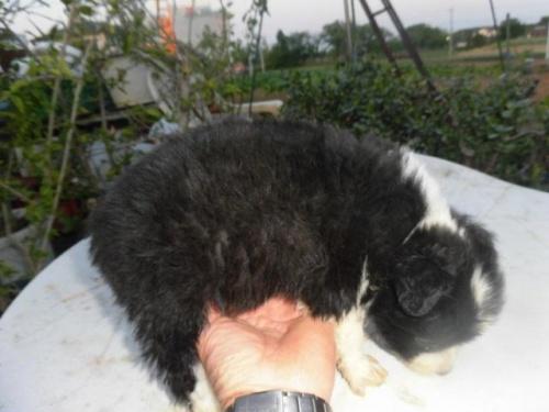 ボーダーコリーの子犬(ID:1273611022)の3枚目の写真/更新日:2018-09-25
