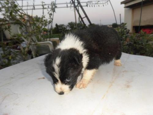 ボーダーコリーの子犬(ID:1273611022)の4枚目の写真/更新日:2019-05-29