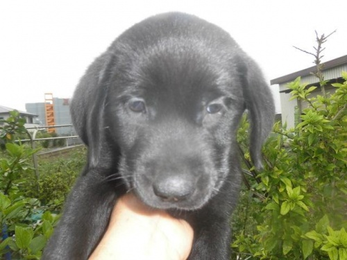 フラットコーテッドレトリバーの子犬(ID:1273611023)の1枚目の写真/更新日:2018-09-28