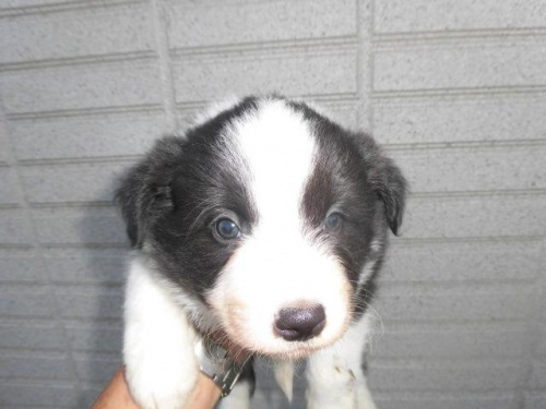 ボーダーコリーの子犬(ID:1273611025)の1枚目の写真/更新日:2018-10-08