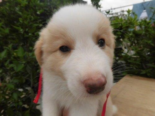 ボーダーコリーの子犬(ID:1273611026)の1枚目の写真/更新日:2018-10-08