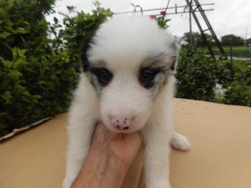 ボーダーコリーの子犬(ID:1273611030)の1枚目の写真/更新日:2019-04-09
