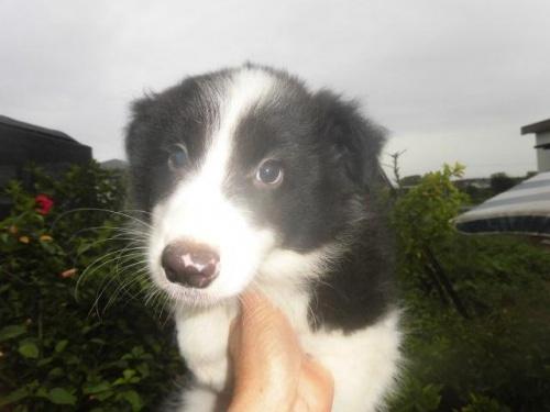 ボーダーコリーの子犬(ID:1273611034)の1枚目の写真/更新日:2018-11-27
