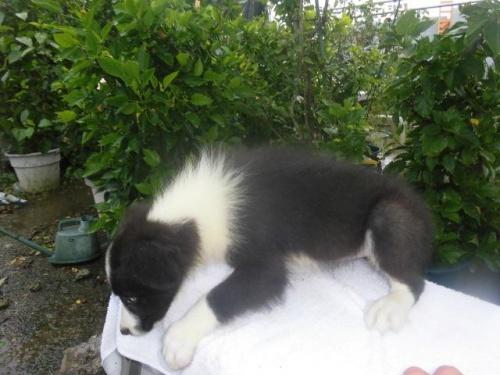 ボーダーコリーの子犬(ID:1273611038)の2枚目の写真/更新日:2019-09-24
