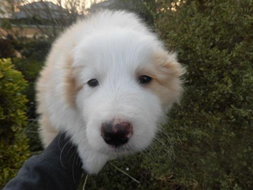 ボーダーコリーの子犬(ID:1273611043)の1枚目の写真/更新日:2019-03-28