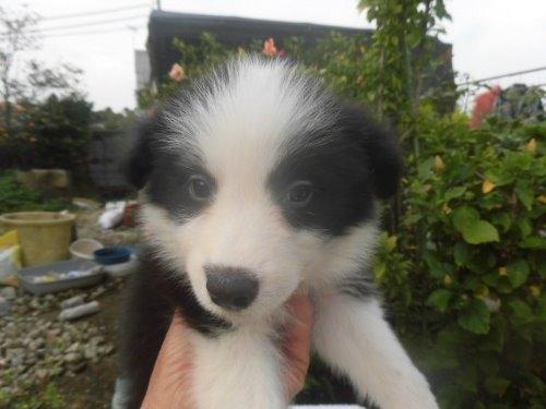 ボーダーコリーの子犬(ID:1273611053)の1枚目の写真/更新日:2019-10-11