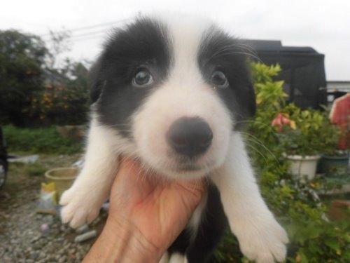 ボーダーコリーの子犬(ID:1273611054)の1枚目の写真/更新日:2019-10-11