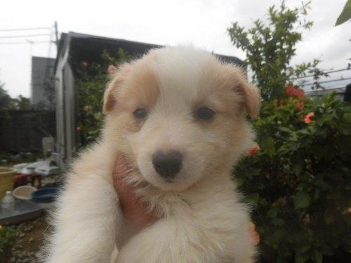 ボーダーコリーの子犬(ID:1273611058)の1枚目の写真/更新日:2019-11-03