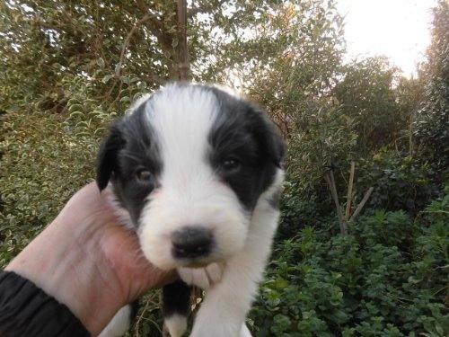 ボーダーコリーの子犬(ID:1273611061)の1枚目の写真/更新日:2019-12-19