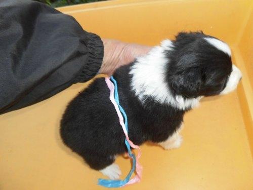 ボーダーコリーの子犬(ID:1273611062)の2枚目の写真/更新日:2019-12-19