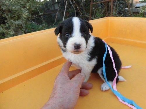 ボーダーコリーの子犬(ID:1273611062)の4枚目の写真/更新日:2019-12-19