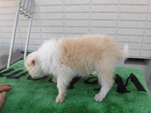 ボーダーコリーの子犬(ID:1273611063)の3枚目の写真/更新日:2020-01-03