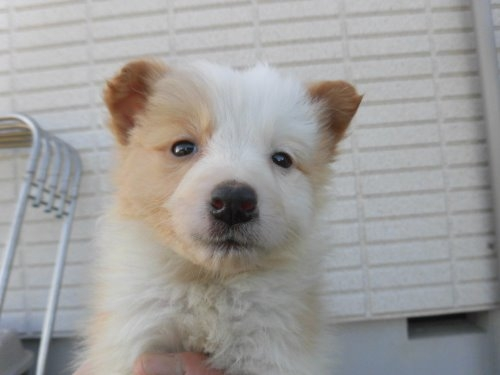 ボーダーコリーの子犬(ID:1273611065)の1枚目の写真/更新日:2020-01-03