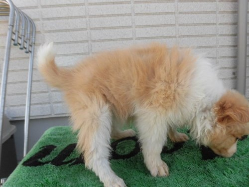 ボーダーコリーの子犬(ID:1273611065)の2枚目の写真/更新日:2020-01-03