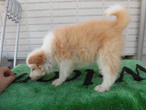 ボーダーコリーの子犬(ID:1273611065)の3枚目の写真/更新日:2020-01-03