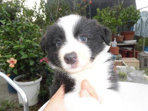 ボーダーコリーの子犬(ID:1273611066)の1枚目の写真/更新日:2020-01-09