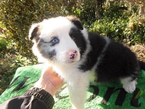 ボーダーコリーの子犬(ID:1273611068)の5枚目の写真/更新日:2020-01-13