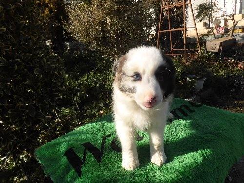 ボーダーコリーの子犬(ID:1273611068)の6枚目の写真/更新日:2020-01-13
