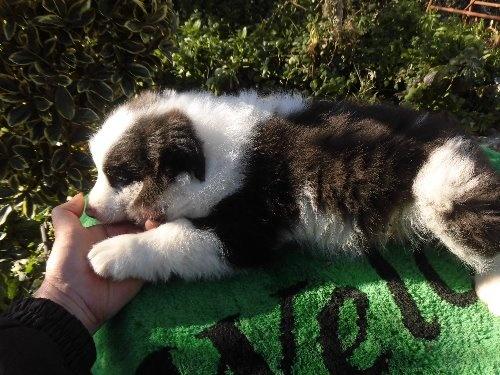 ボーダーコリーの子犬(ID:1273611069)の2枚目の写真/更新日:2020-01-13