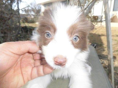 ボーダーコリーの子犬(ID:1273611071)の1枚目の写真/更新日:2020-01-16