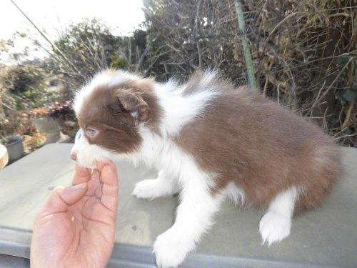 ボーダーコリーの子犬(ID:1273611071)の2枚目の写真/更新日:2020-01-16