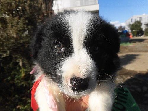ボーダーコリーの子犬(ID:1273611072)の1枚目の写真/更新日:2020-01-22