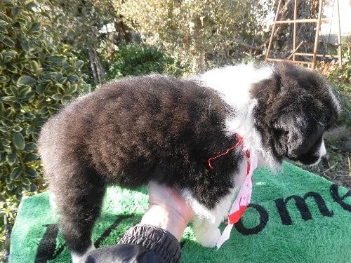 ボーダーコリーの子犬(ID:1273611072)の2枚目の写真/更新日:2020-01-22