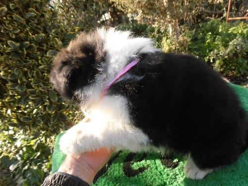 ボーダーコリーの子犬(ID:1273611072)の3枚目の写真/更新日:2020-01-22
