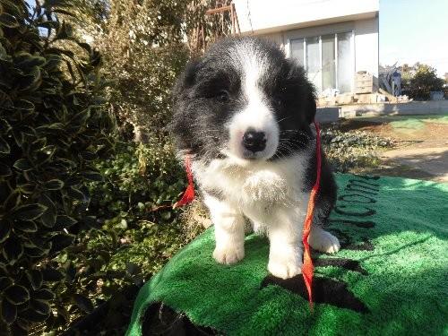 ボーダーコリーの子犬(ID:1273611073)の1枚目の写真/更新日:2020-01-22