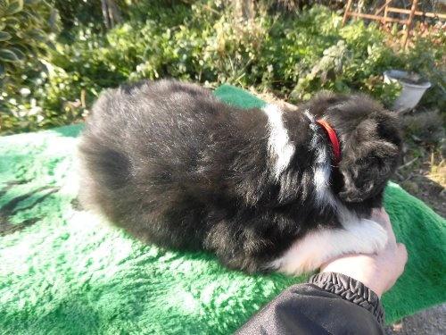 ボーダーコリーの子犬(ID:1273611073)の2枚目の写真/更新日:2020-01-22