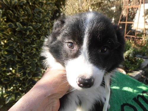 ボーダーコリーの子犬(ID:1273611074)の1枚目の写真/更新日:2020-01-22