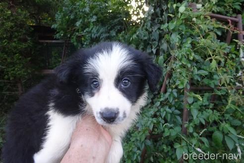 ボーダーコリーの子犬(ID:1273611085)の1枚目の写真/更新日:2020-03-15