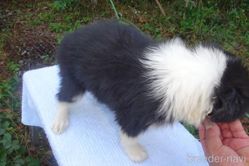 ボーダーコリーの子犬(ID:1273611085)の3枚目の写真/更新日:2020-03-15