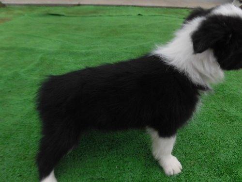 ボーダーコリーの子犬(ID:1273611086)の3枚目の写真/更新日:2020-03-15