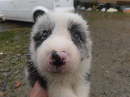ボーダーコリーの子犬(ID:1273611087)の1枚目の写真/更新日:2020-03-15
