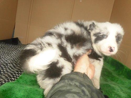 ボーダーコリーの子犬(ID:1273611087)の3枚目の写真/更新日:2020-03-15