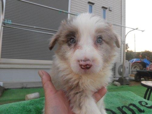 ボーダーコリーの子犬(ID:1273611088)の1枚目の写真/更新日:2020-04-04