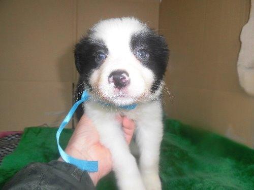 ボーダーコリーの子犬(ID:1273611090)の1枚目の写真/更新日:2020-04-04