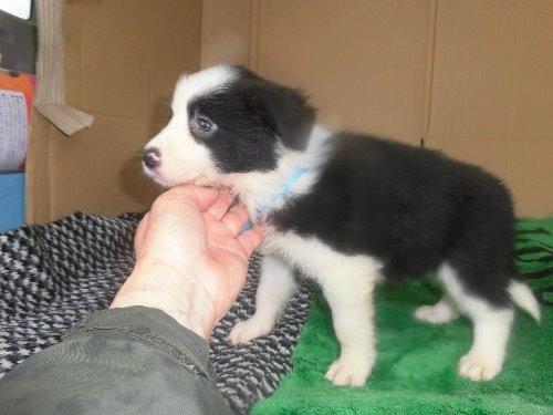 ボーダーコリーの子犬(ID:1273611090)の3枚目の写真/更新日:2020-04-04