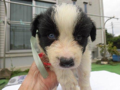 ボーダーコリーの子犬(ID:1273611113)の1枚目の写真/更新日:2020-06-25