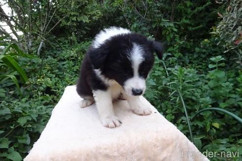 ボーダーコリーの子犬(ID:1273611114)の2枚目の写真/更新日:2020-06-25