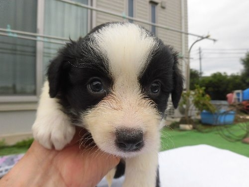 ボーダーコリーの子犬(ID:1273611115)の1枚目の写真/更新日:2020-06-25